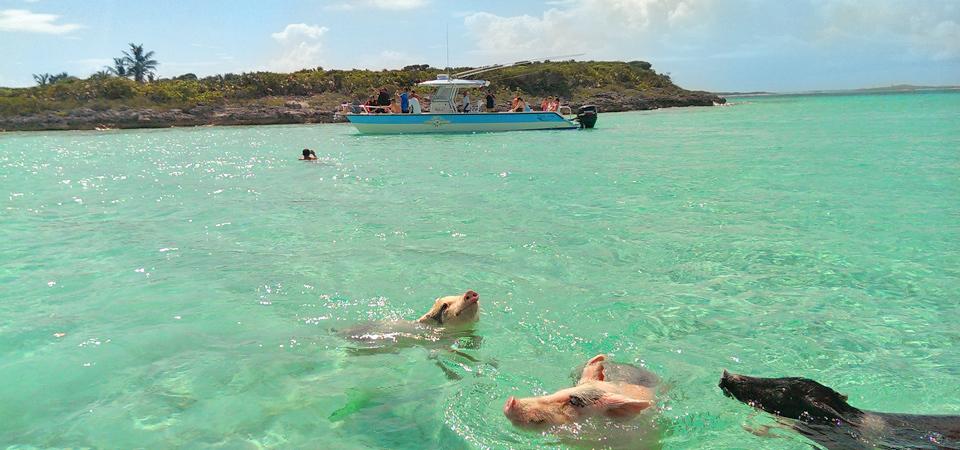 pigs-swim