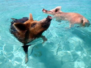 bahamas-swimming-feral-pigs